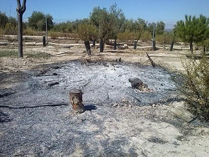 Imagen de parte de los árboles incendiados por los gamberros en La Roda