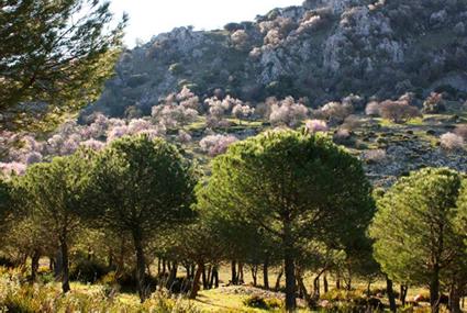 Almendros en flor en el Tajo Montero de Estepa. Foto: ARBA Sierra Sur.