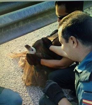 Imagen del buitre rescatado hoy en La Roda. Foto: Facebook del Ayuntamiento rodense.